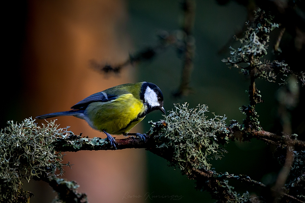 Great tit on a mossy branch