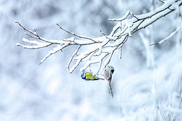 Öösel sadanud lumi oli katnud maapinna ja puuoksad koheva lumevaibaga. Jõe ääres kõndides kuulsin eemalt ühe puu juurest tuttavat säutsumist ja ligemale kõndides märkasin tihaseid oskalt oksale hüppamas ja palukesi otsimas. Ühel puu maapinna ligi ulatuval lumisel oksal oli üks hetk sabatihane ja sinitihane koos, mis õnnestus ka pildina jäädvustada (Raudna jõgi).
