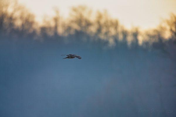 Kanakull liuglemas üle uduse lagendiku päikesetõusu ajal