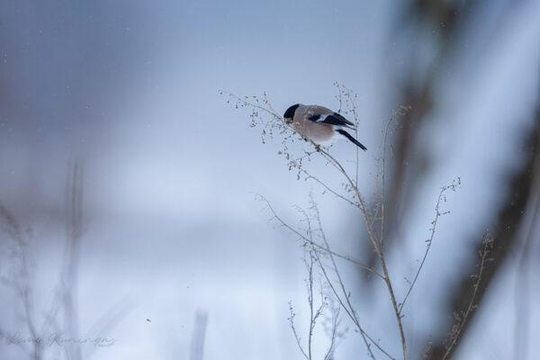 Leevikese emaslind kõrrel istumas ja seemneid pudistades söömas