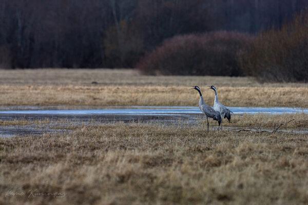 Kevadrände ajal on sookured paari kaupa sättinud ennast igale poole. Pildil on üks neist paaridest, kes mind märganuna hüüavad häälekalt, et mõne hetke pärast lendu tõusta (Soomaa rahvuspark).