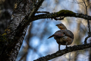Metsise kana teeäärsel kase oksal üle õla arglikult piilumas (Soomaa rahvuspark)