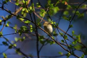 Väike lehelind kevadisel lehte puhkemas oksal hommikupäikese valguses (Soomaa rahvuspark)