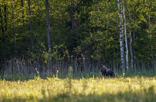 Pruunkaru luha servas metsa ääres üle õla vaatamas. Hetke pärast tegi ta sääred ja tema järel jooksis emapõder, kes tundus teda taga ajavat (Alam-Pedja looduskaitseala)
