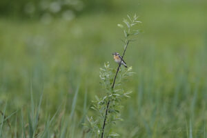 Whinchat on willow tree